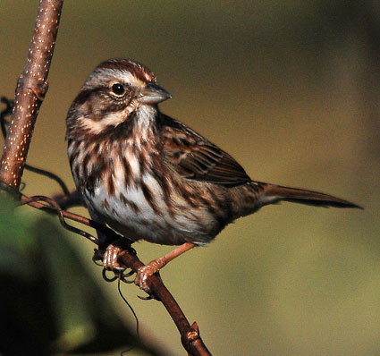Savannah Sparrow Eastern