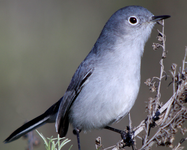 blue grey gnatcatcher