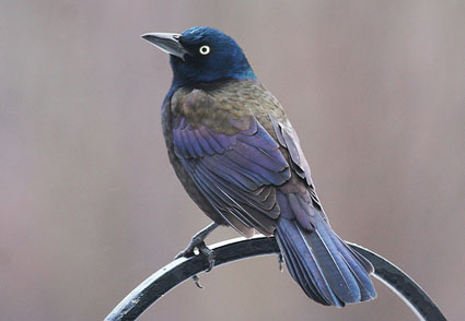 Common Grackle Purple
